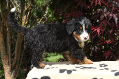 Bernese Mountain Dog puppy in front of dark red leaves Royalty Free Stock Photography