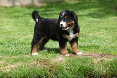 Bernese Mountain Dog puppy in the garden Stock Photography