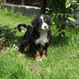 Bernese Mountain Dog puppy in the garden Stock Photos