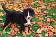 Bernese Mountain Dog puppy stands in Autumn leaves