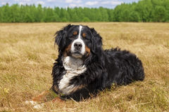 Bernese Mountain Dog. Purebred Bernese Mountain Dog (Berner Sennenhund) lying in the middle of a green lawn on a sunny summer day Royalty Free Stock Photos