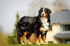 Bernese mountain dog Stock Photos