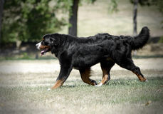 Bernese Mountain Dog running on the nature. Bernese Mountain Dog running on nature Stock Images