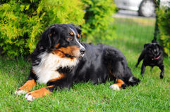 Bernese Mountain Dog royalty free stock photos