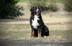 Bernese Mountain Dog sitting on the ground. Bernese Mountain Dog sitting on the park Royalty Free Stock Photography
