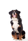 Bernese mountain dog sitting. Happy dog photographed in the studio on a white background royalty free stock photo