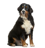 Bernese Mountain Dog sitting, looking away, 8 months old Royalty Free Stock Photo