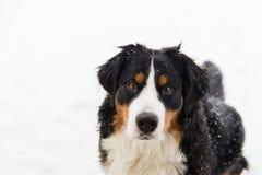 Bernese Mountain Dog in the snow. A Bernese Mountain dog enjoys Iowa snow stock photography