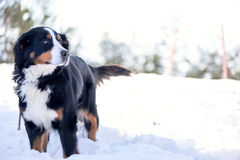 Bernese Mountain Dog in the snow. Looking away. Focus on the eye, shallow depth of field, blow out highlights in the background Stock Photography
