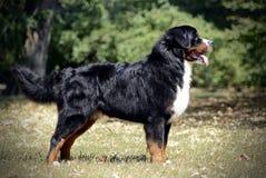 Bernese Mountain Dog standard in a park. Bernese Mountain Dog standard in  park Royalty Free Stock Photo
