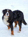 Bernese Mountain Dog Stock Photography