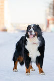 Bernese mountain dog stay on snow Stock Image