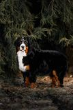 Bernese mountain dog stay on snow springs forest stock images