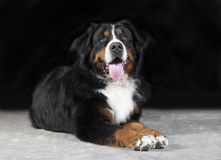Bernese mountain dog Studio Royalty Free Stock Photography