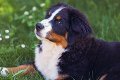 Bernese Mountain Dog in the summer meadow Royalty Free Stock Images