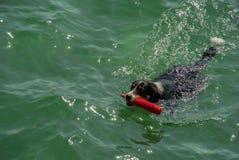 Bernese Mountain Dog swimming Royalty Free Stock Photo