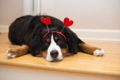 Bernese Mountain Dog Valentines hearts. A Bernese Mountain Dog is very excited for love Royalty Free Stock Photos