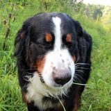 Bernese mountain Dog. On a walk in the Park Stock Photography