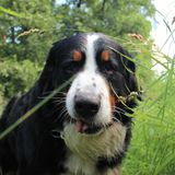 Bernese mountain Dog. On a walk in the Park Royalty Free Stock Photography