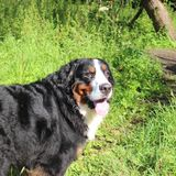 Bernese mountain Dog. On a walk in the Park Royalty Free Stock Images