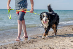 Bernese Mountain Dog walking on the dog beach in Michigan. A large Bernese Mountain Dog is happy on the dog beach in Michigan`s Warren dunes state park Stock Image