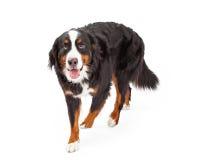 Bernese Mountain Dog Walking Forward Stock Photo