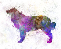 Bernese mountain dog in watercolor Stock Image