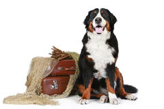 Bernese mountain dog on white background Royalty Free Stock Image