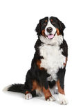 Bernese mountain dog on white background Royalty Free Stock Photos