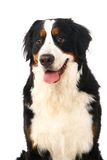 Bernese mountain dog on white Royalty Free Stock Photo