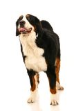 Bernese mountain dog on white Royalty Free Stock Photos