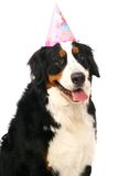 Bernese mountain dog on white Royalty Free Stock Images