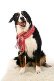 Bernese mountain dog on white Stock Photo