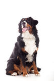 Bernese mountain dog on white. Happy dog photographed in the studio on a white background stock photo