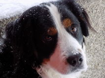 Bernese mountain dog. Winter with dog Royalty Free Stock Photos