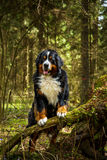 Bernese Mountain Dog. In the woods Stock Photo