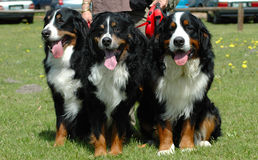 Bernese Mountain Dogs royalty free stock photography