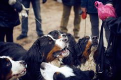Bernese mountain dogs begging royalty free stock photo