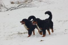 Bernese mountain dogs at snow stock photo