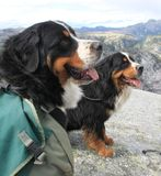 Bernese Mountain Dogs working Royalty Free Stock Photography