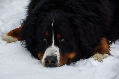 Bernese mountain lying down on snow. Bernese mountain lying down on snow covered ground.  Closeup portrait Royalty Free Stock Images
