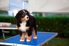 Bernese mountain puppy. Dog standing in the grooming table Royalty Free Stock Photography