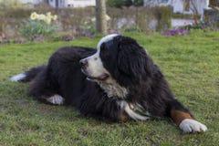 Bernese Mountaindog che si trova sul prato inglese immagini stock