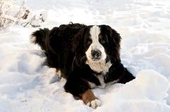 Bernese Mountaindog en la nieve Foto de archivo libre de regalías