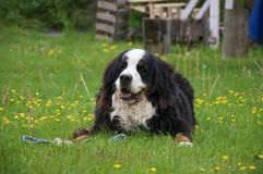 Bernese Mountaindog on a lawn full of dandelions. An adult male Bernese Mountaindog relaxing on a green lawn littered with dandelions somewhere on the west coast Stock Image