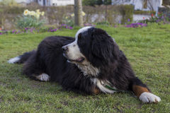 Bernese Mountaindog lying on the lawn. An adult male Bernese Mountaindog relaxing on a lawn with flowers in the background Stock Images