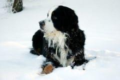 Bernese Mountaindog nella neve Fotografia Stock Libera da Diritti