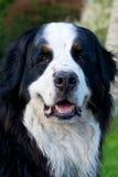 Bernese Mountaindog ono uśmiecha się kamera zdjęcia royalty free