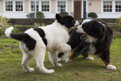Bernese Mountaindog playing with Landseer ECT pup. An adult male Bernese Mountaindog is playing with his female Lansdseer European Conntinental Type pup friend Stock Photo