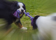 Bernese Mountaindog playing with Landseer ECT pup. An adult male Bernese Mountaindog is playing tug war with his female Lansdseer European Conntinental Type pup Stock Photo